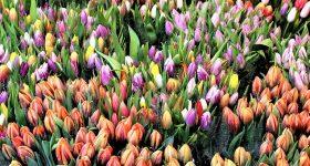 Tulipanes Belgas de colores